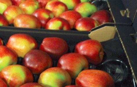 Польские яблоки вернулись в Россию. С чужими документами